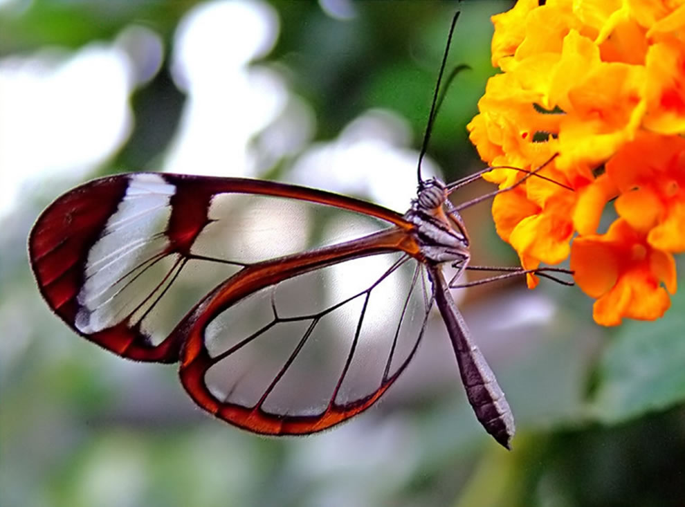 Glasswing Butterfly, Nature is capable of simply gorgeous wonders