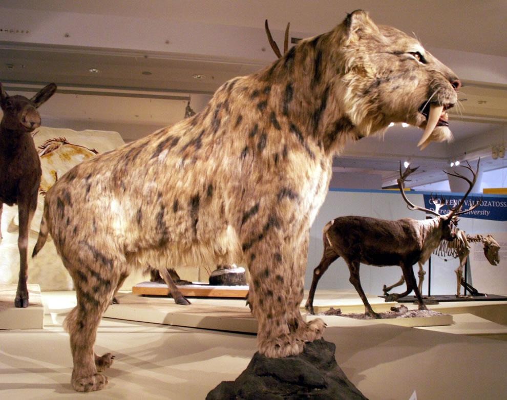 Smilodon Saber-toothed tiger (saber-toothed cat)