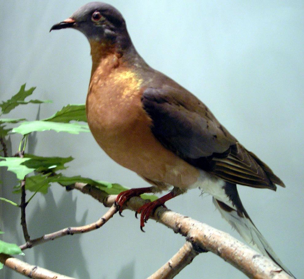 Stuffed passenger pigeon