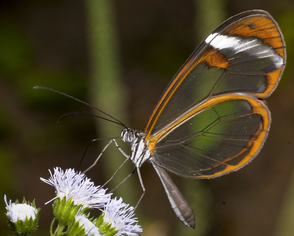 Glasswing butterfly, transparency is a camouflage that is possible in a habitat with no surfaces to match or hide behind