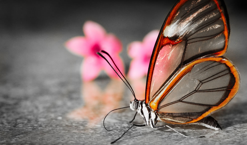 Transparent glasswinged butterfly