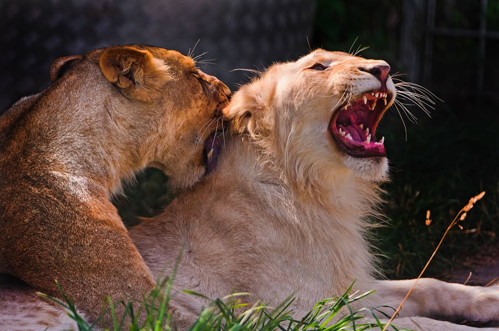 White lion Zumba and and lioness Timba playing