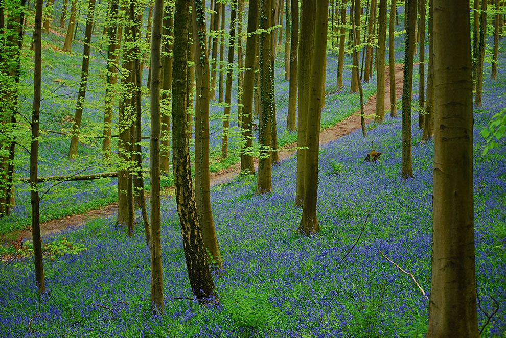 A footpath in Tourneppe, Belgium, through the bluebells