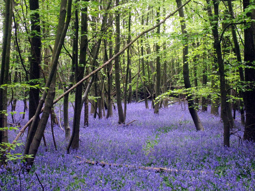 A rich bed of bluebells (Hyacinthoides non-scripta), Little Chittenden Wood, near to Four Elms, Kent, Great Britain