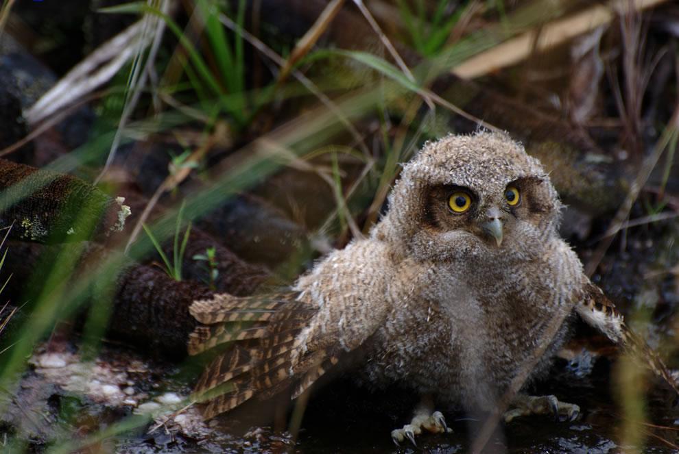 Baby owl seen near Rio Cano Castales