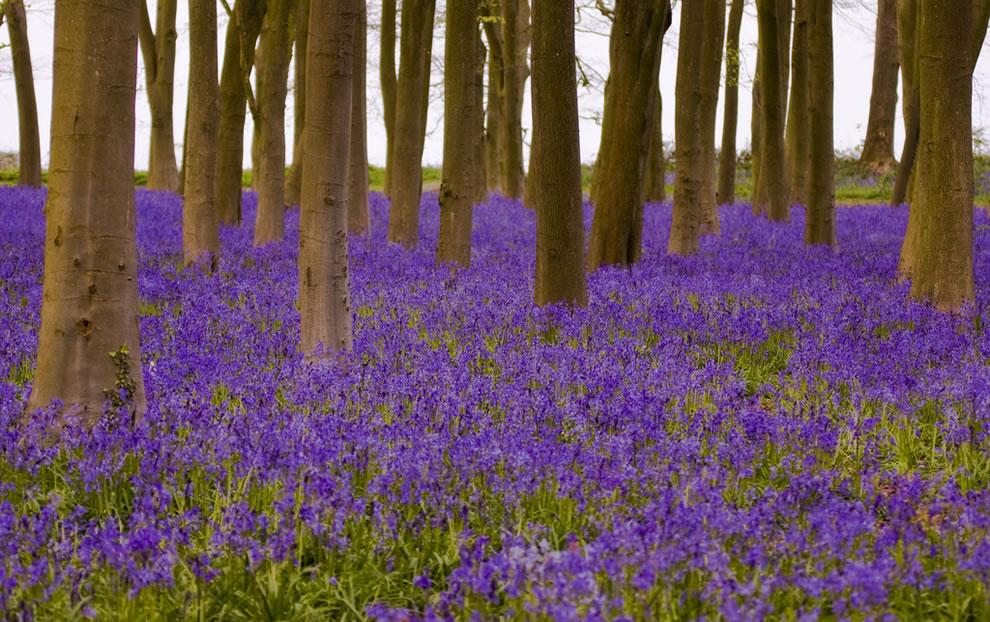Badbury Clump near Faringdon, Oxfordshire bluebells