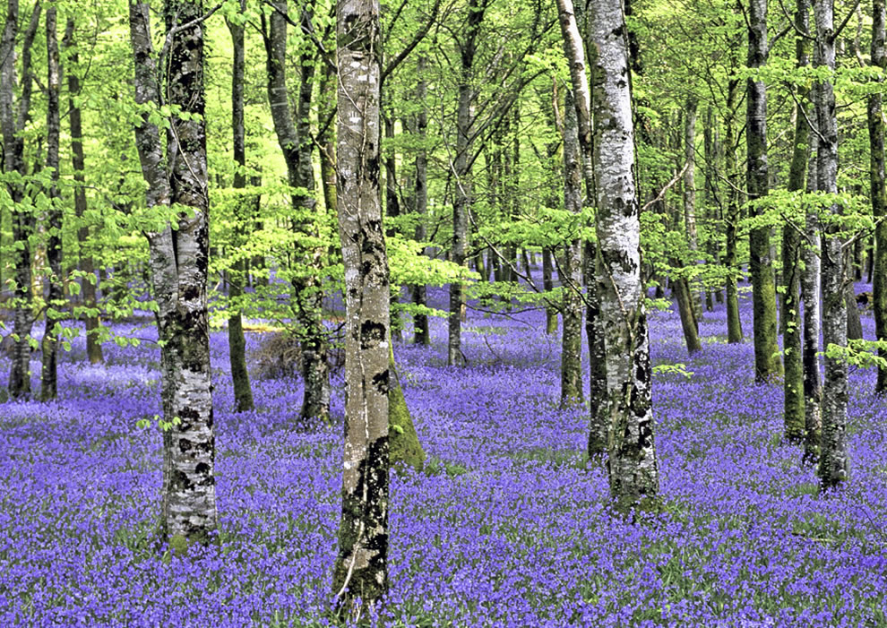 Bluebell forest