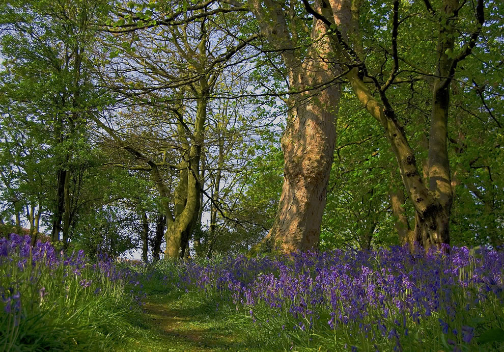 Bluebell path at Cardross, Scotland