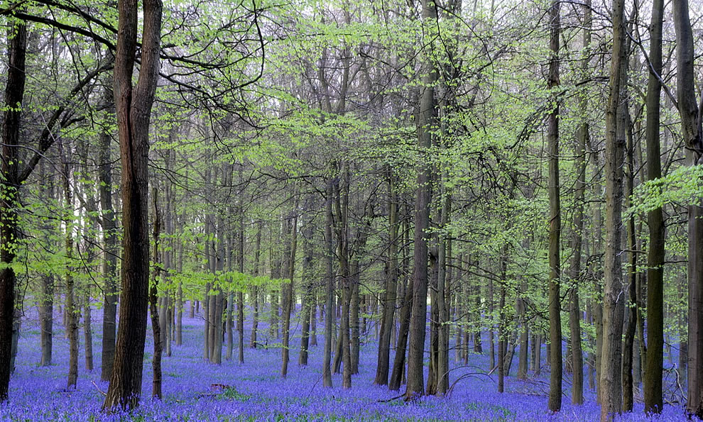 Bluebells at Ashridge Forest, as far as the eye can see