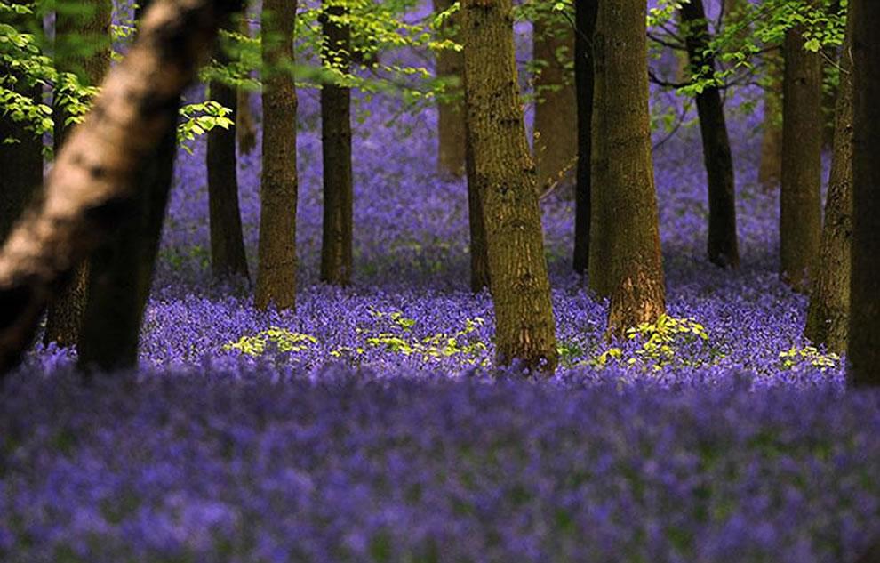 Bluebells at Ashridge near Berkhamsted, Hertfordshire, UK