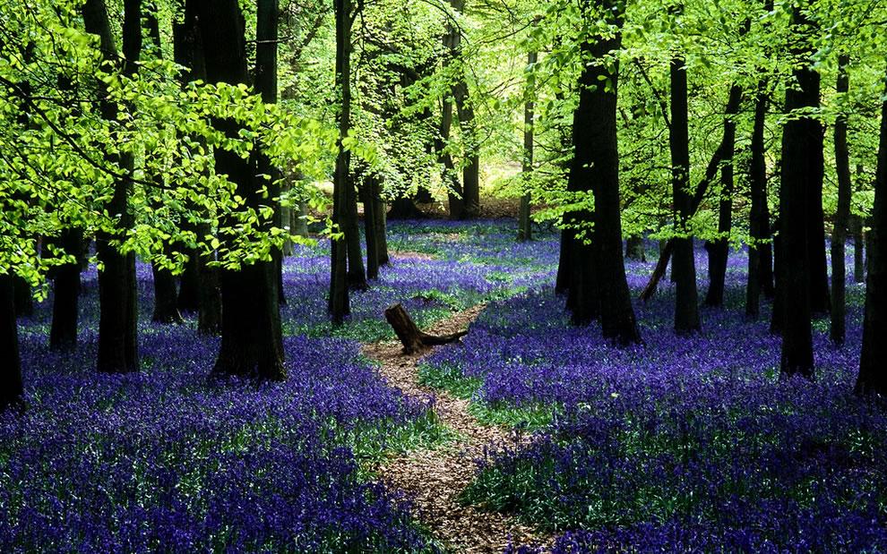 Bluebells in Ashridge, English landscape transformed into a sea of blue