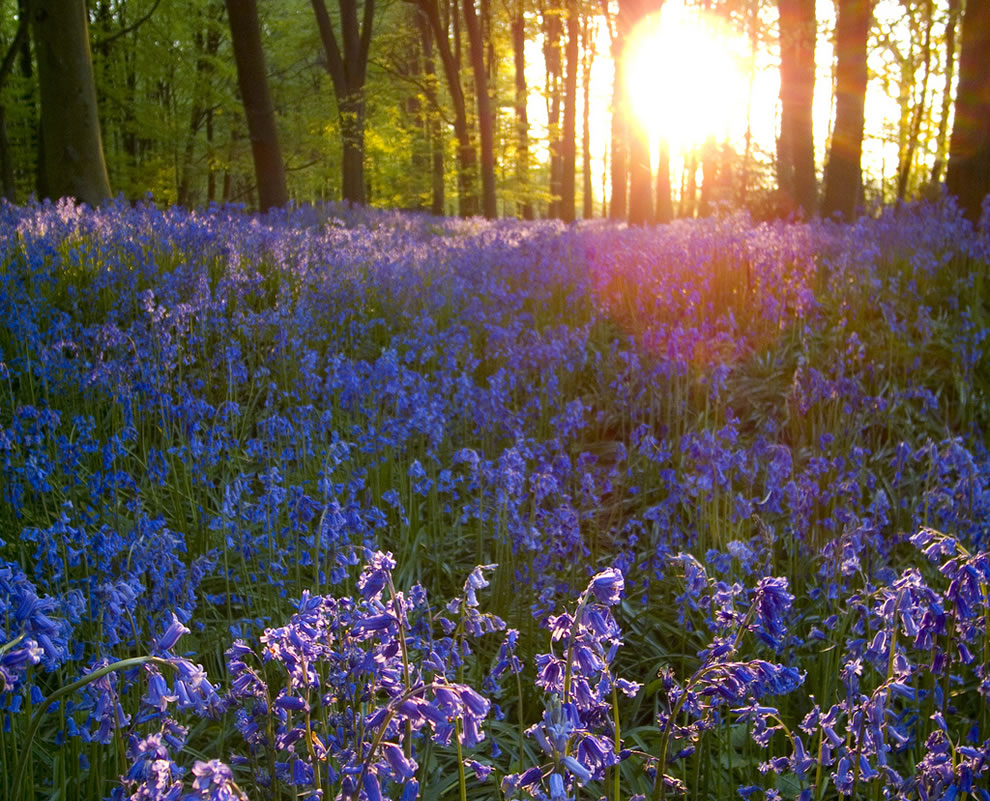 Bluebells in the evening