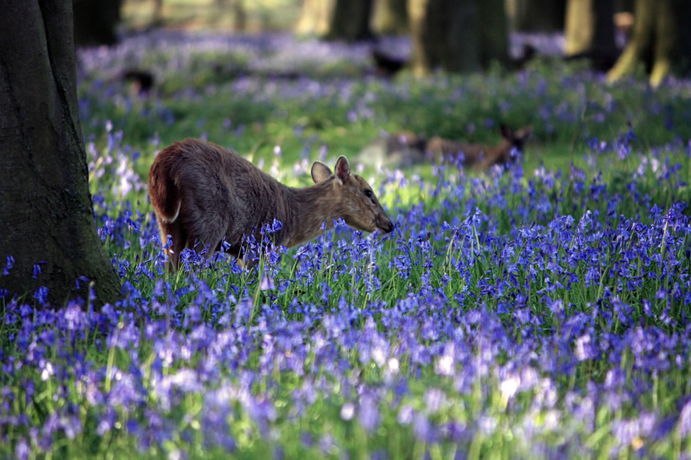 Inquisitive Muntjac in the bluebell forest