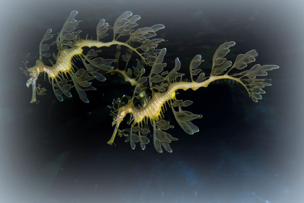 Leafy Seadragons swim-dancing at Dallas Aquarium