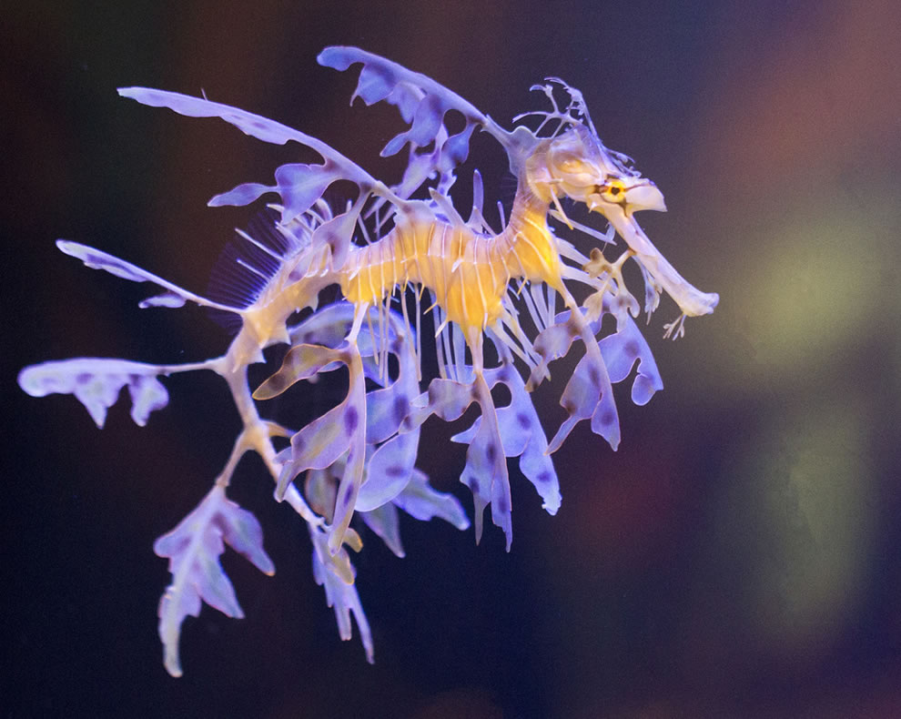Leafy sea dragon at Birch Aquarium, San Diego, CA