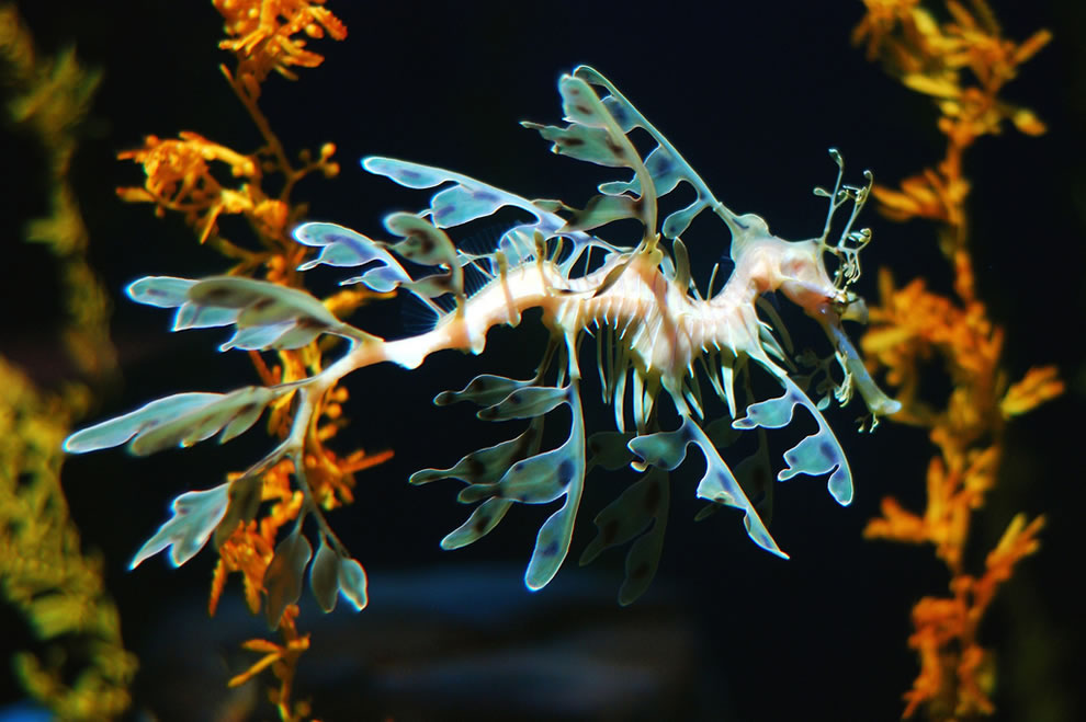 Leafy sea dragon in Atlanta Aquarium
