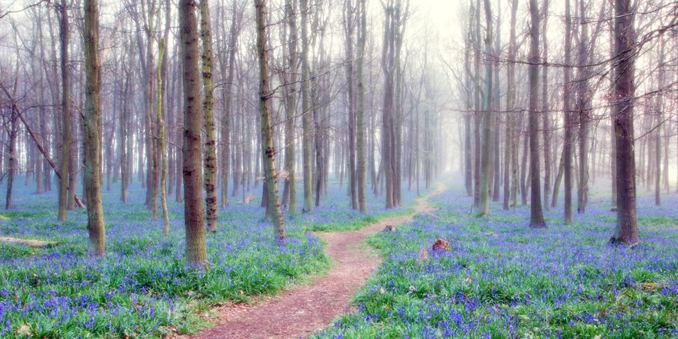 Misty dawn and the bluebell woods