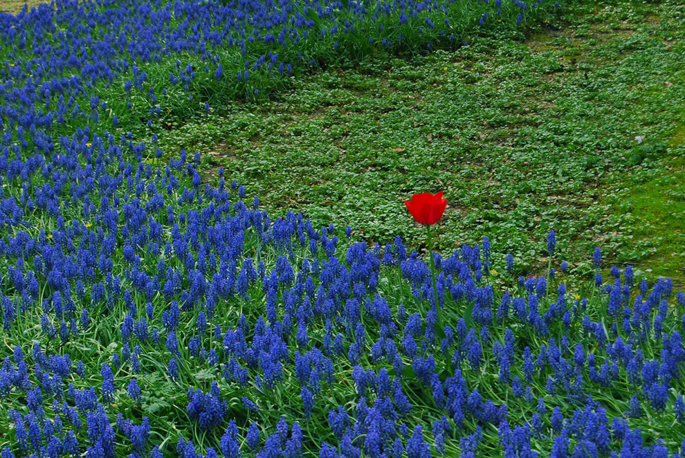 One of these things is not like the others, red tulip among the bluebells in Belgium