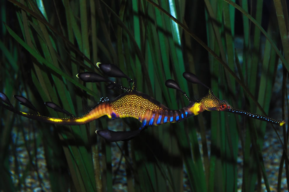 Phyllopteryxm Weedy Seadragon