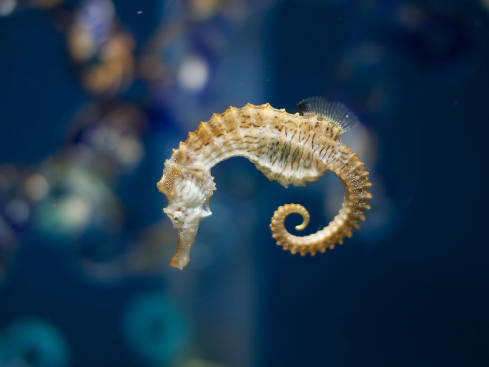 Seahorse at Oregon Coast Aquarium