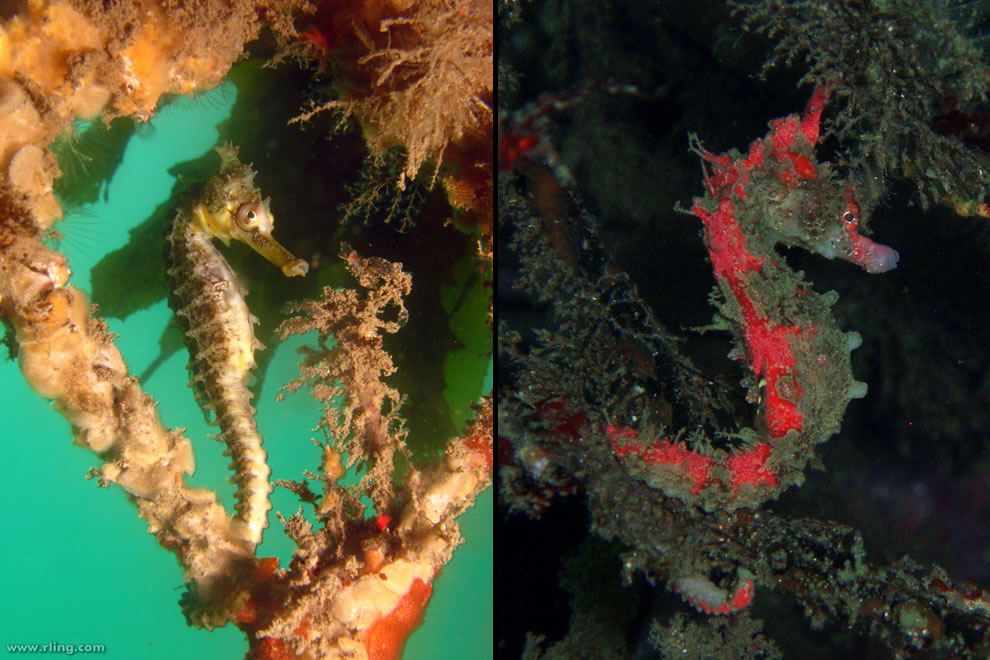 Seahorse, master of disguise via camouflage and some change colors to blend into their environment