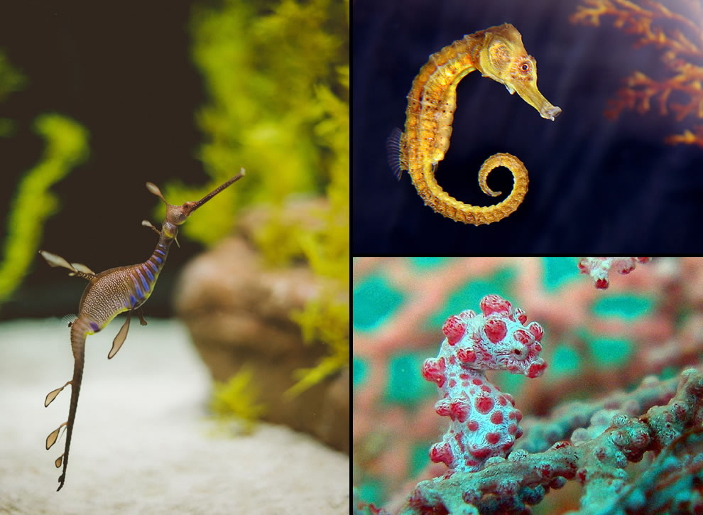 Stunning seahorses, seadragons, pygmy seadragon