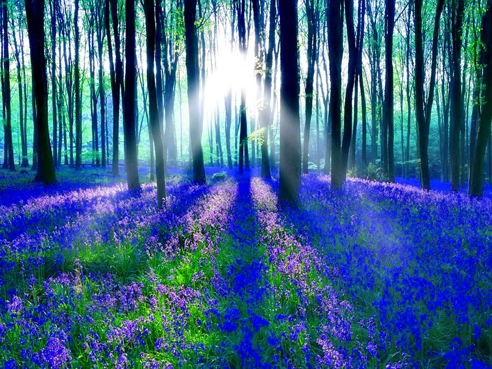 Sunlight on the enchanted forest of bluebells