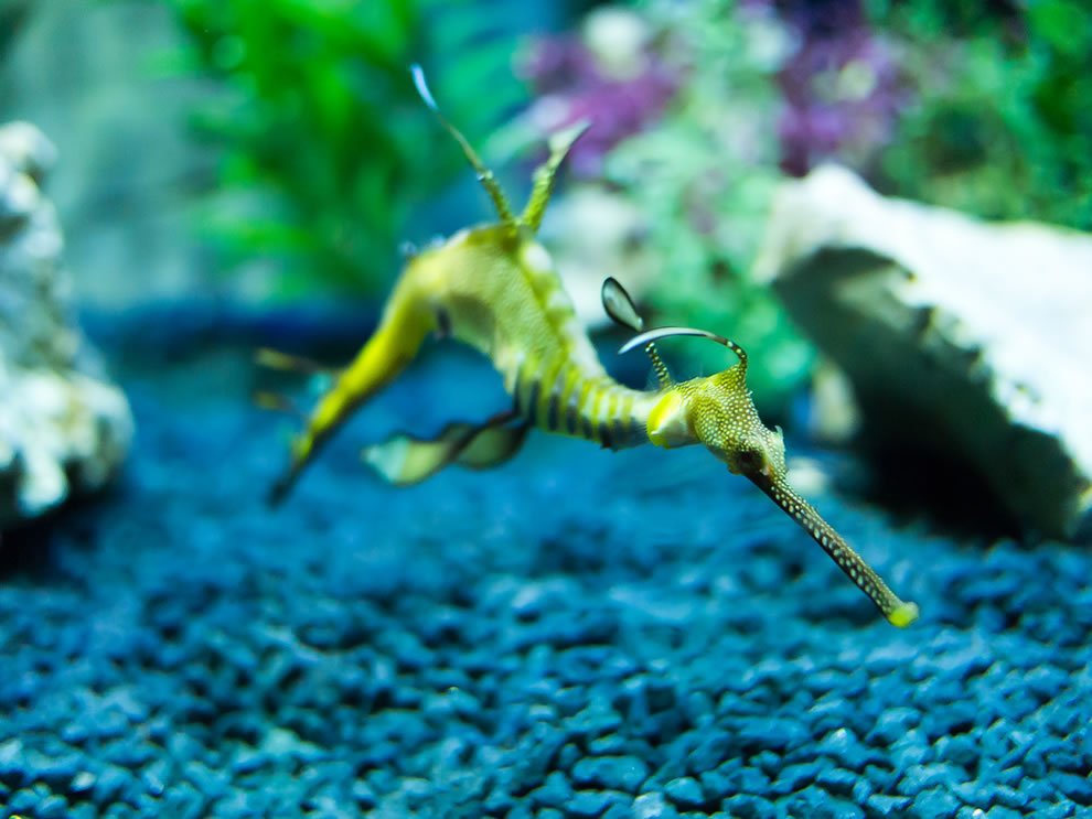 Weedy seadragon, bizarrely appearing to fly through the water