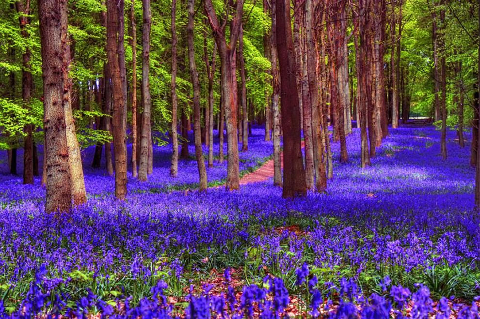 Zillions of bluebells form a carpet in the woods