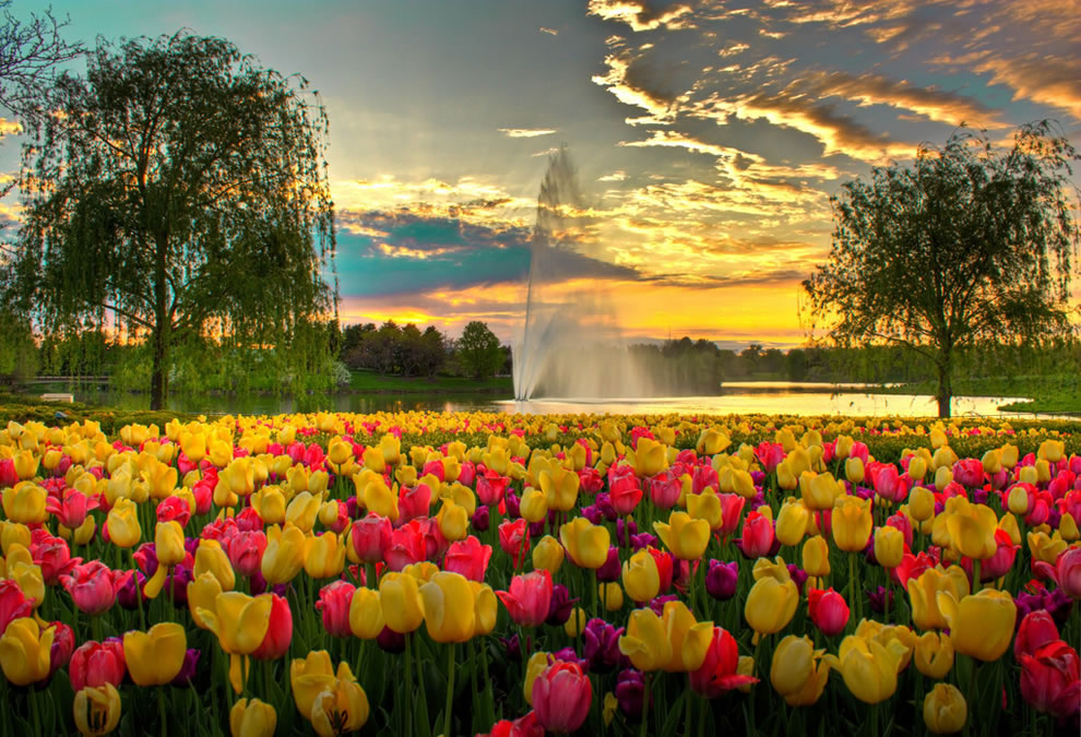 A Colorful Evening at Chicago Botanic Garden, tulips and fountain