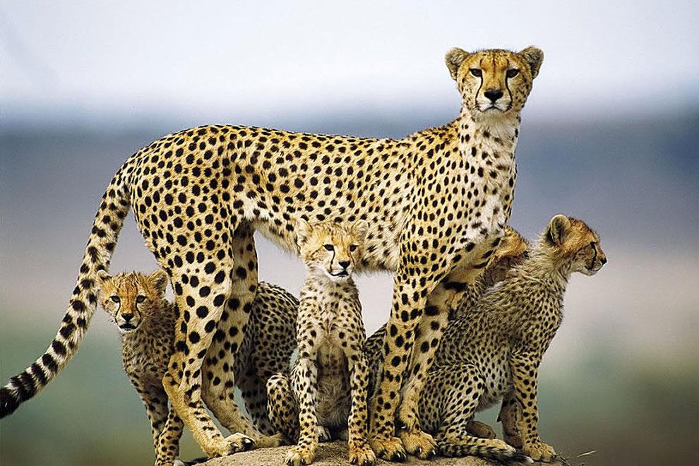 A mother cheetah and cubs in the Masai Mara, Kenya