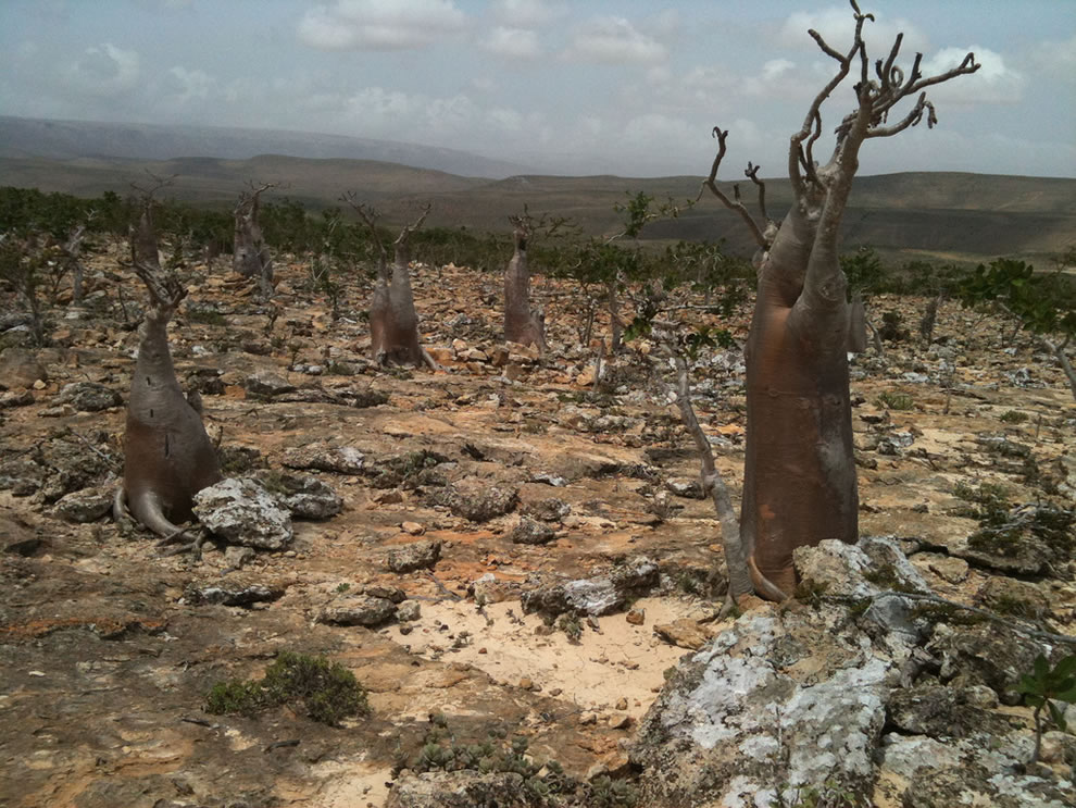 Another Socotra forest