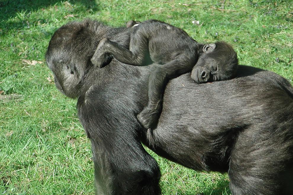 Baby gorilla sleeping on mom's back