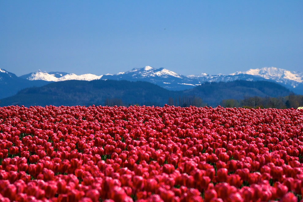 Blue mountains and red tulips at Skagit Valley Tulip Festival in Washington