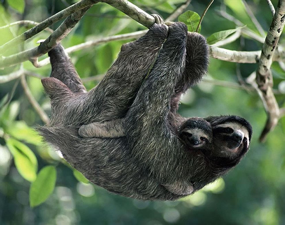 Brown-throated, Three-toed Sloth with Baby
