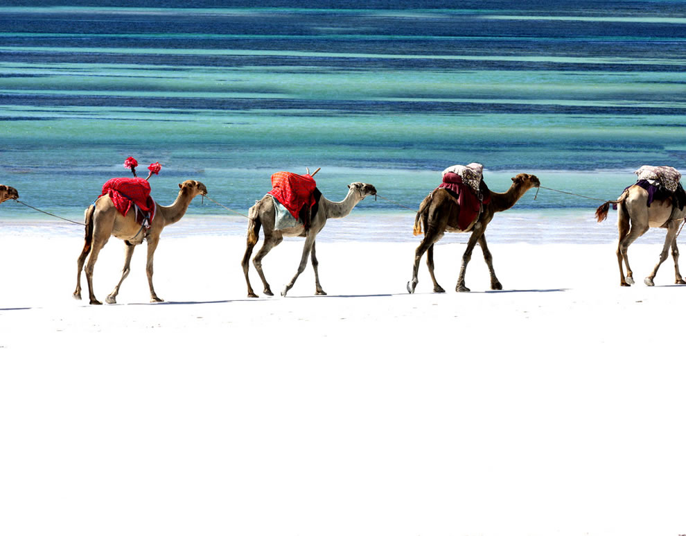 Camel caravan on the white sands of beach in Kenya