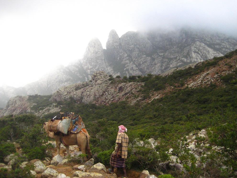 Camel trecking on Socotra
