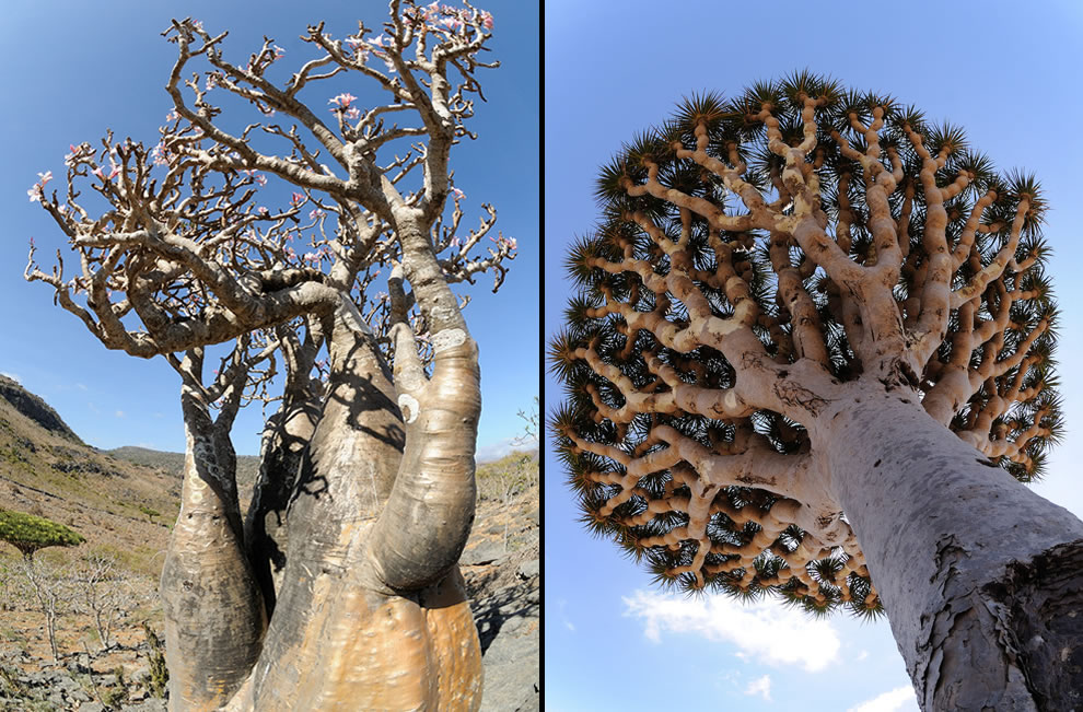 307 out of the 825 plant species on Socotra are found nowhere else on Earth