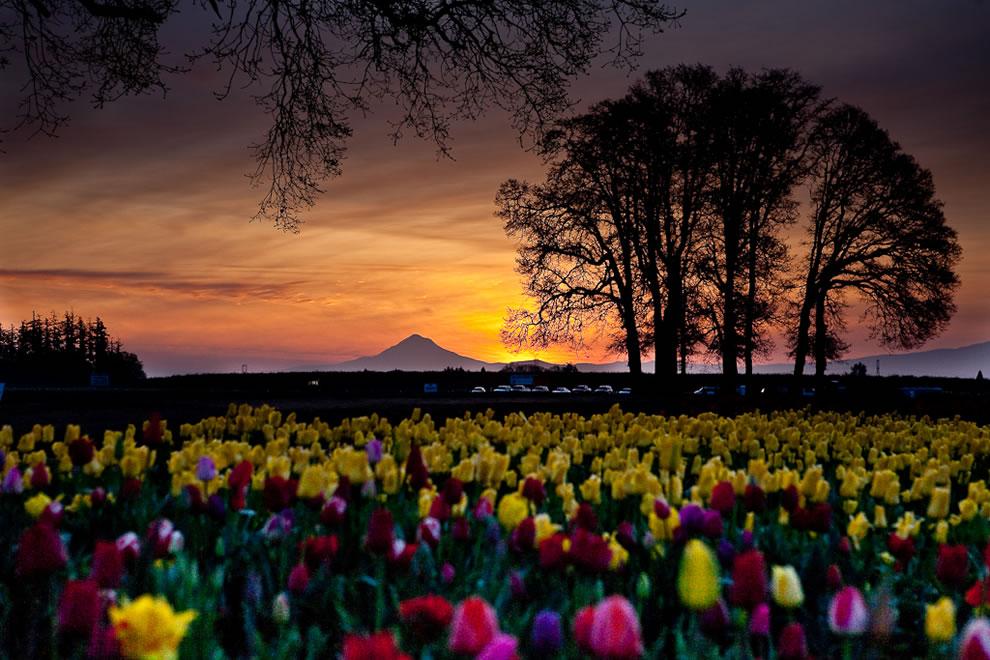Dawn at the Wooden Shoe tulip farm in Oregon