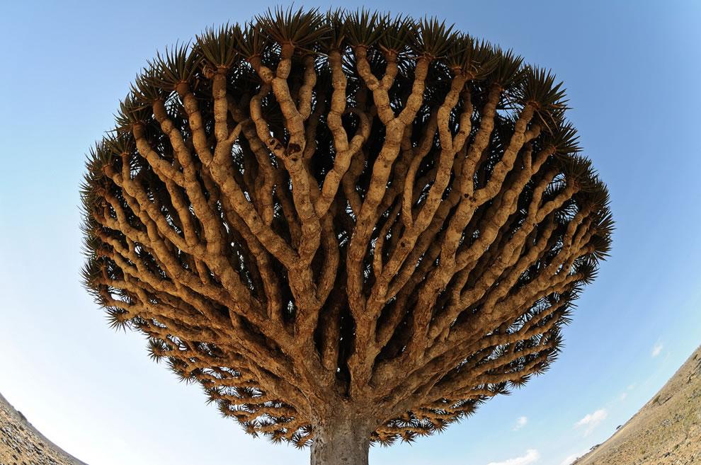 Dracaena cinnabari aka Dragon's Blood tree