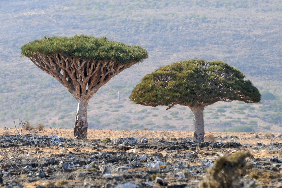 Dracaena cinnabari aka Dragon's Blood trees on Socotra
