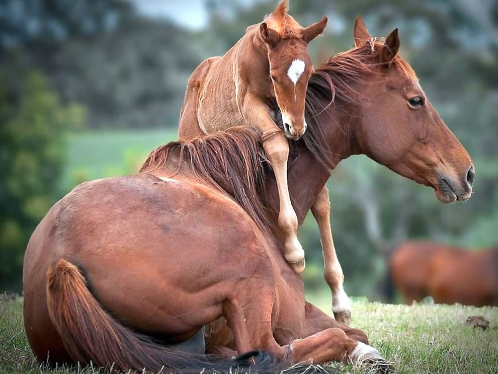 Foal urging moma horse to get up and play
