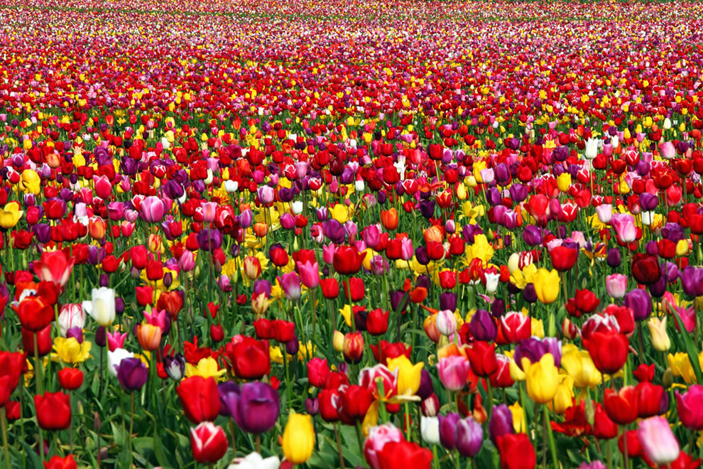 Joyful Runway, tulips in Oregon