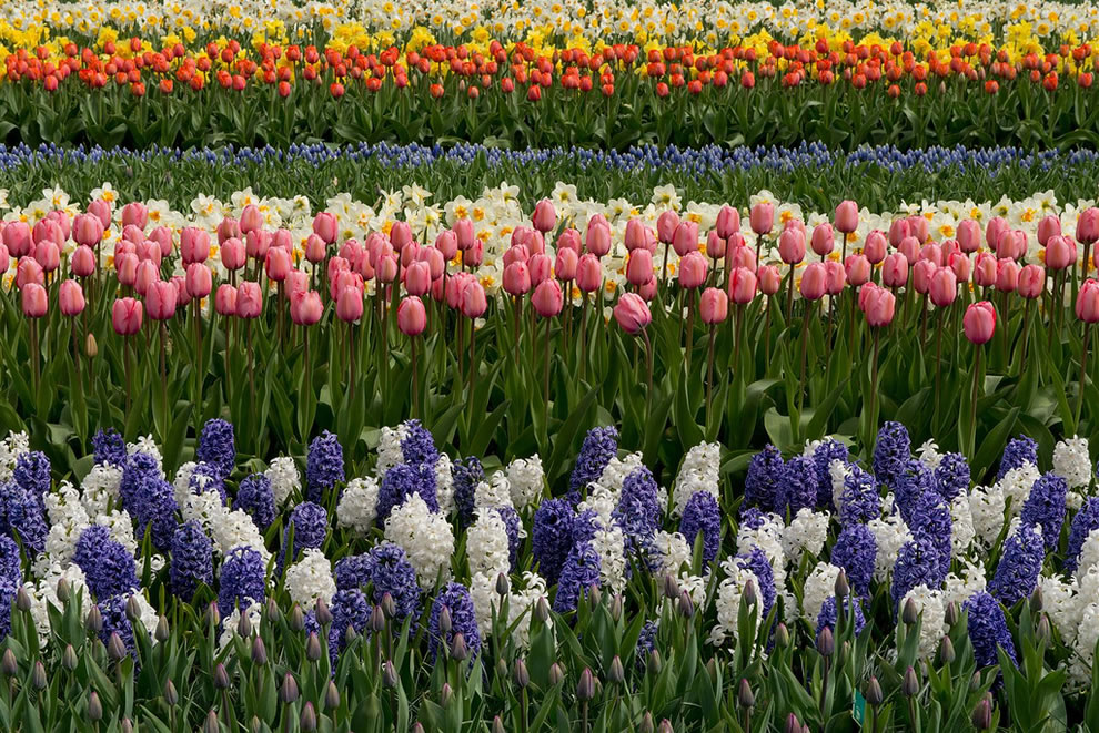 Keukenhof has been the world's largest flower garden for over 50 years with 7 million bulbs planted annually