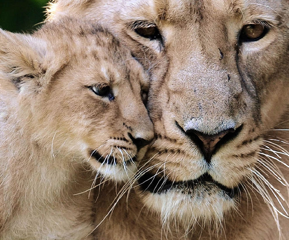 Lion cub giving mom some love