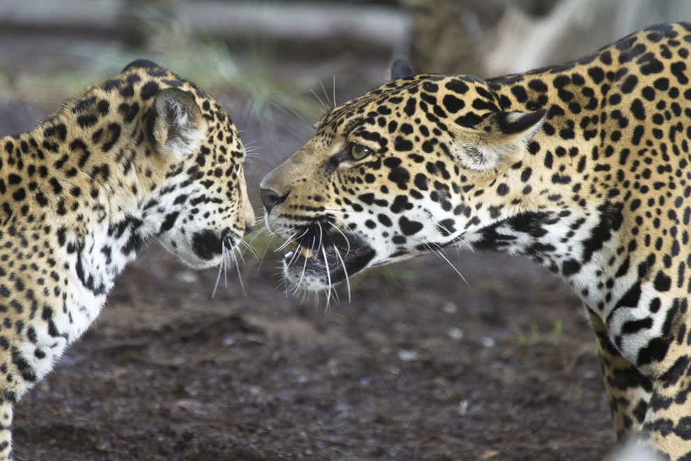 Mama Jaguar gives her child a stern lecture