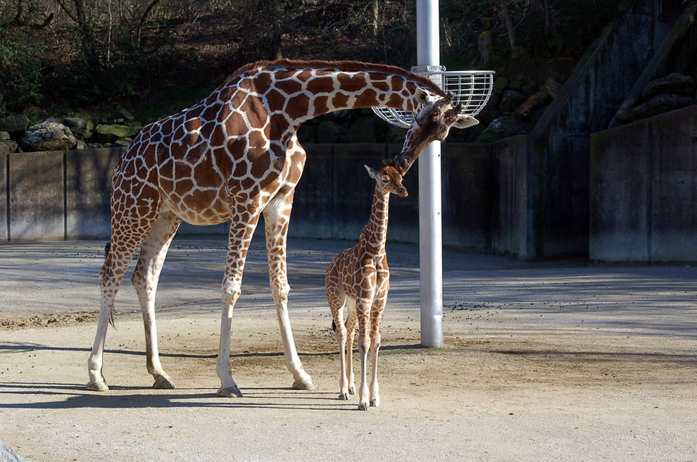 Mom kissing her baby giraffe at the Memphis Zoo