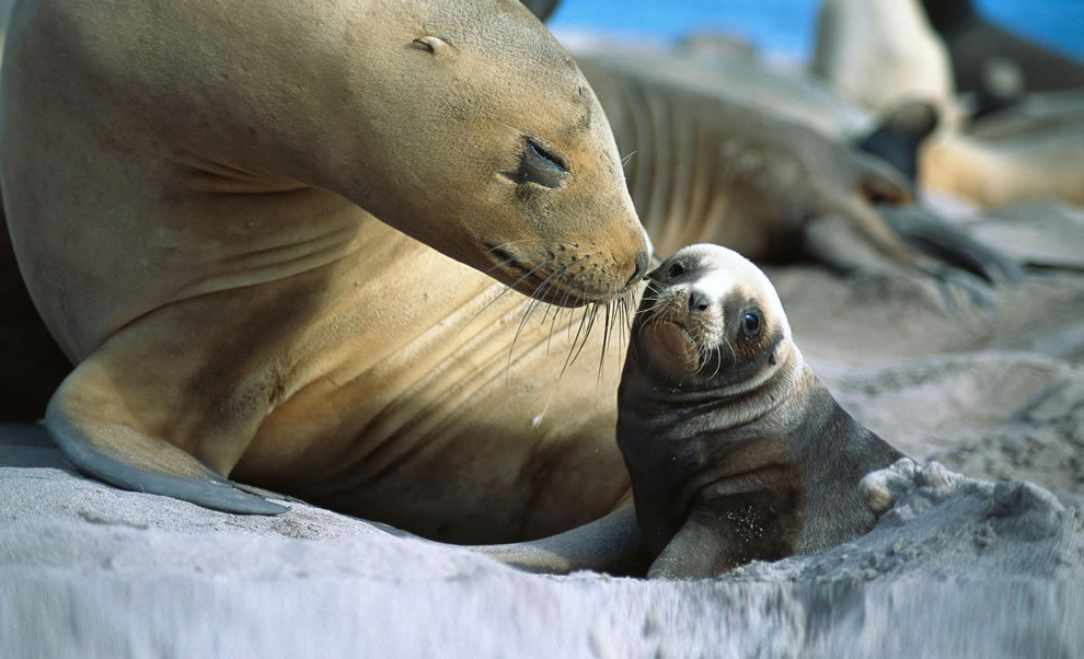 Mom loving on her baby sealion