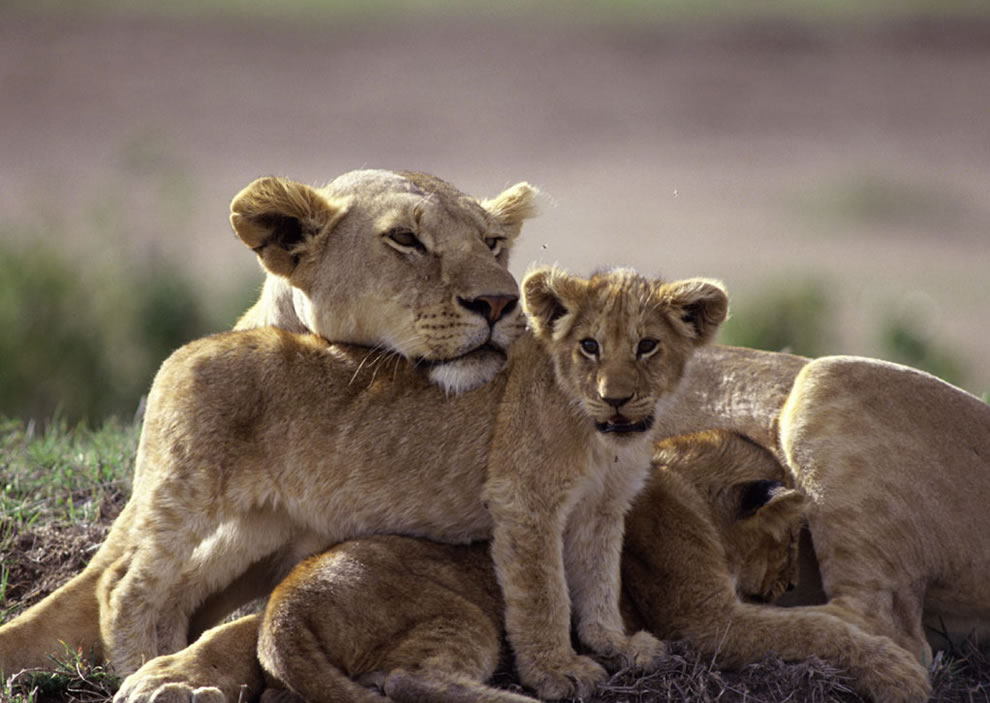 Moma lion and her cubs
