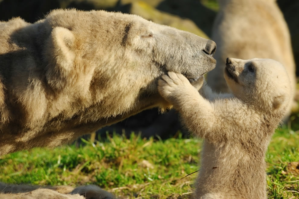 Mother bear and baby bear, Give me a kiss